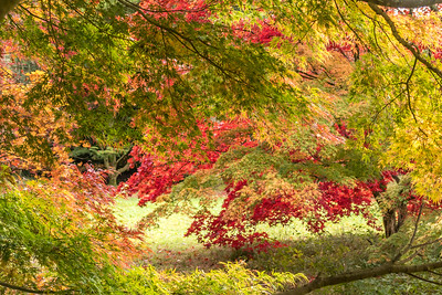 Acer Westonbirt