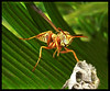 paper wasp - Polistes spp.