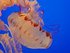 purple-striped jelly - Chrysaora colorata
