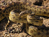 Gopher Snake ~ Pituophis catenifer