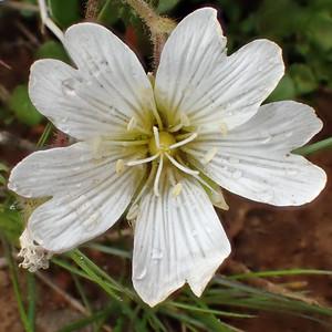 Músareyra (Cerastium alpinum)