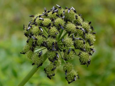 Ætihvönn (Angelica archangelica)