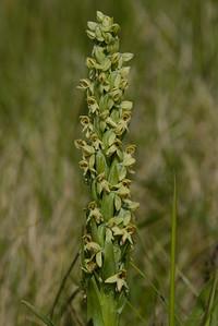 Friggjargras (Platanthera hyperborea)