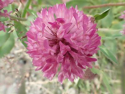 Rauðsmári (Trifolium pratense)