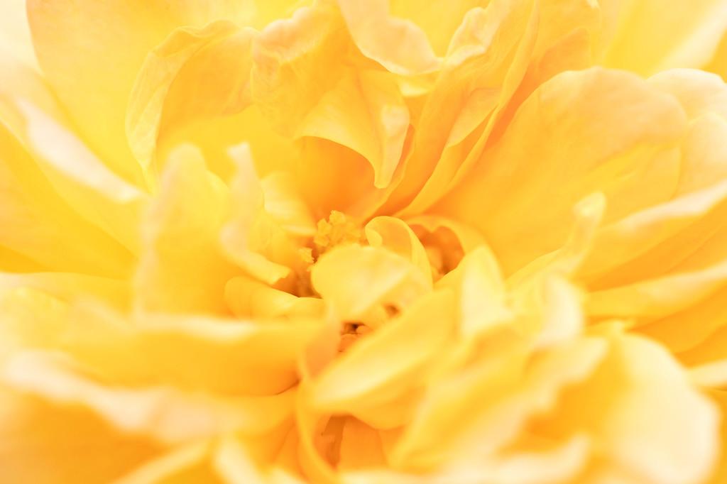 Peony Rose in spring