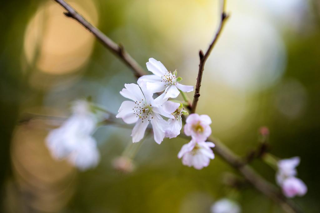 Sakura in December