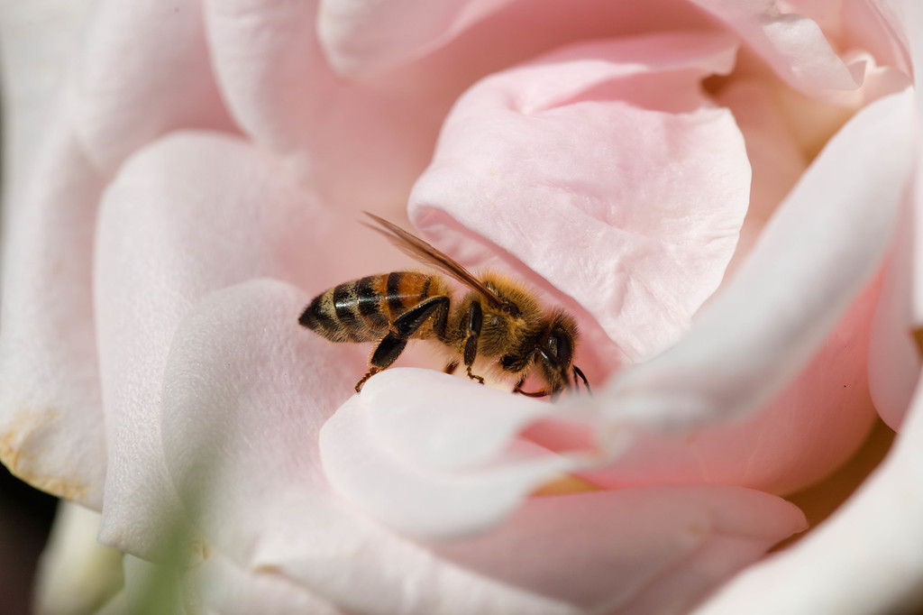 The Foraging Honey Bee