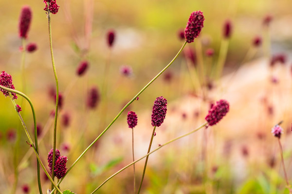 Great Burnet(anguisorba officinalis)