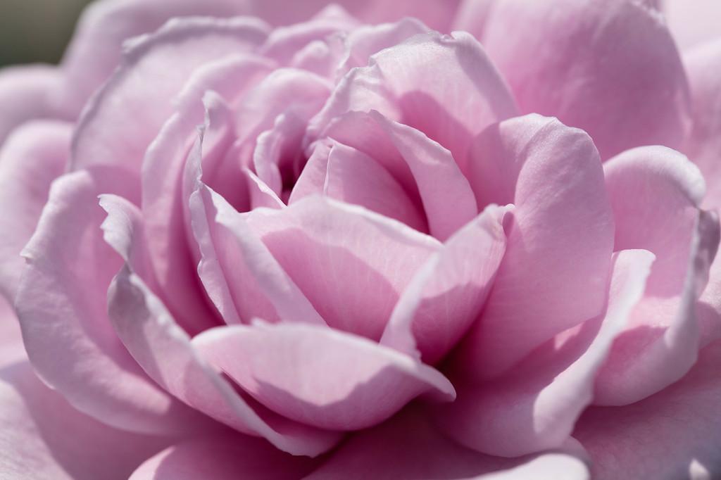 The Fairy Rose -- Le Ciel Bleu