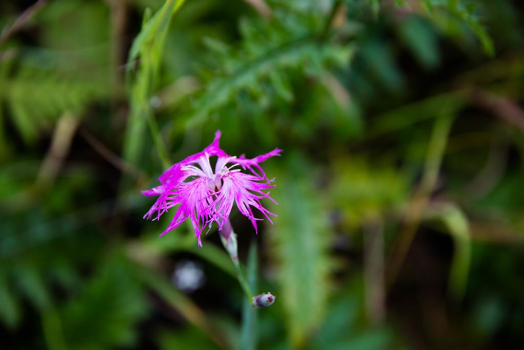 Dianthus superbus(fringed pink)