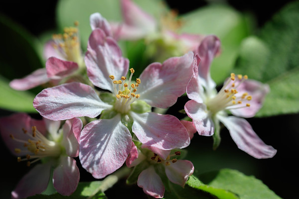 The flower of Fuji Apple