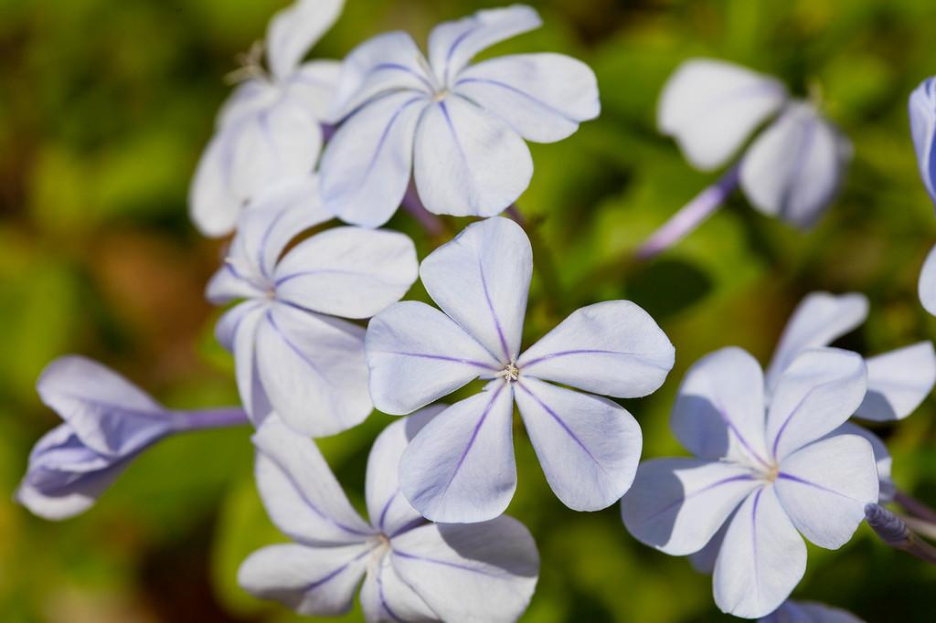 Blue Leadwort