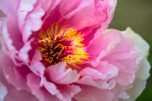 Peony… There is no charm equal to the tenderness of heart.