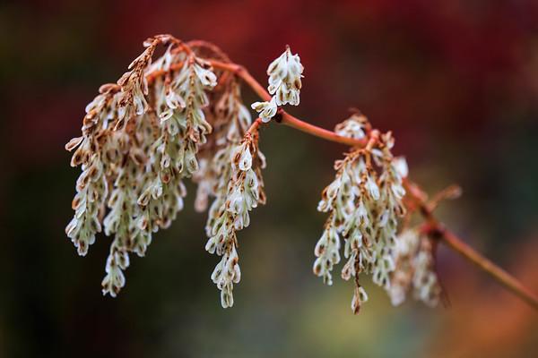秋のイタドリ Japanese knotweed