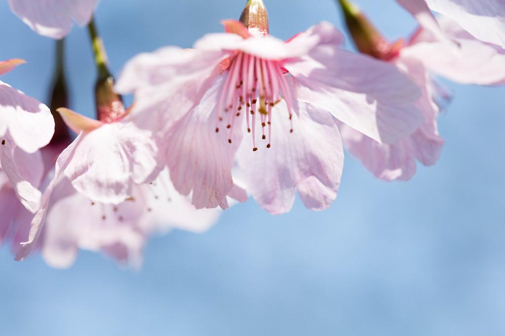 Sakura..Sakura