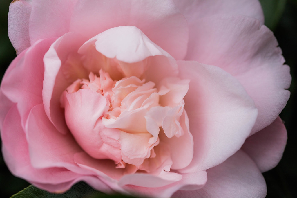 Pink Lace Camellia