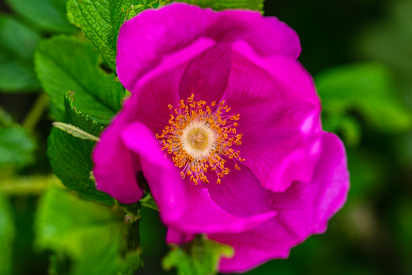 Rosa rugosa (Japanese Rose)