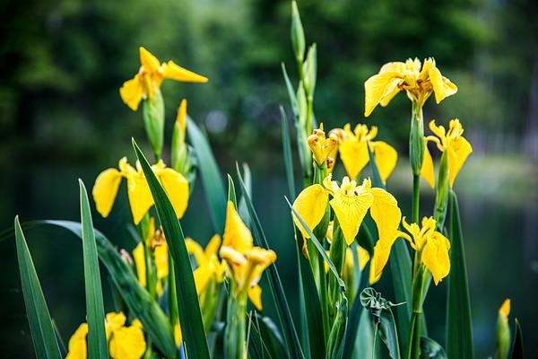 Beside the lake, Yellow Iris
