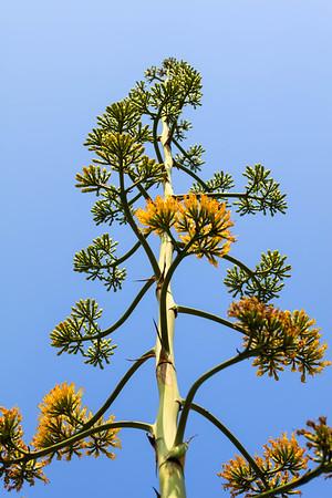 Century Plant..Agave