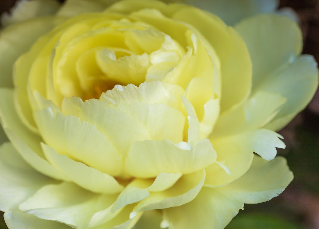 Tenderness, Yellow Peony