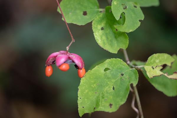 秋のクロツリバナ