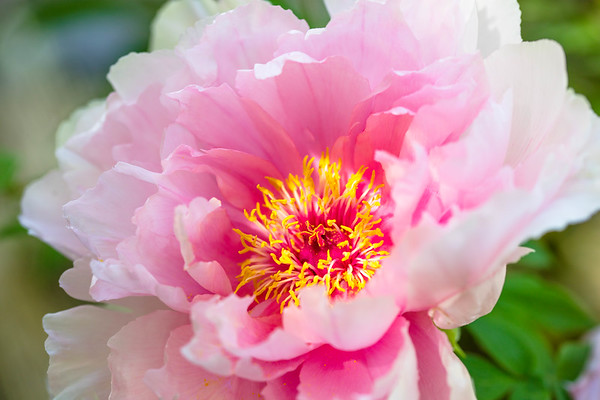 Peony… There is no charm equal to the tenderness of the heart.