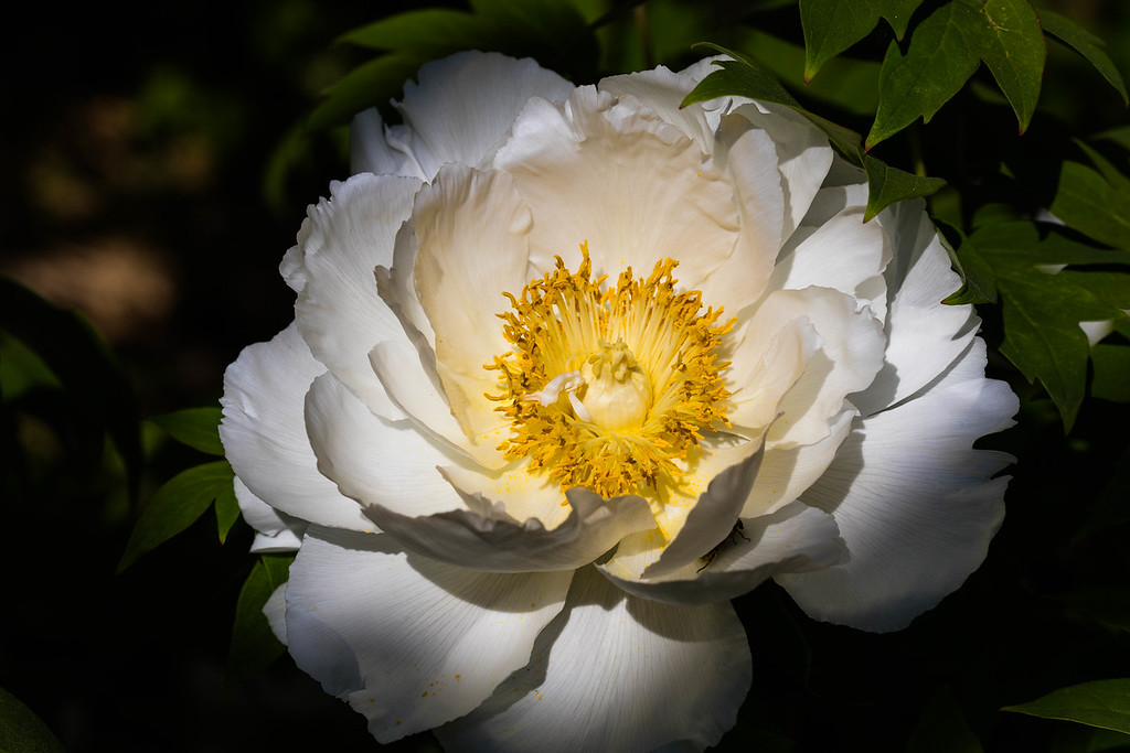 White Peony .. Devoted to Light