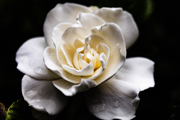 Gardenia on a rainy day