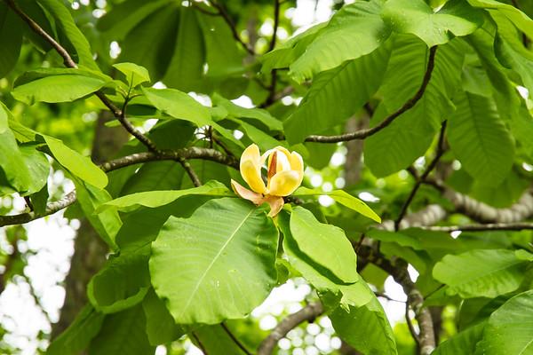 Japanese Oak Flower in June