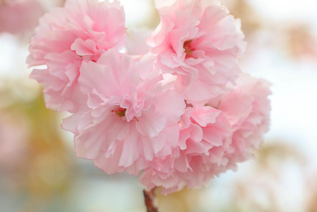 Peony Cherry Flowers
