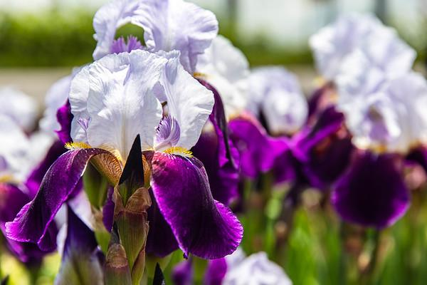 Beard Iris