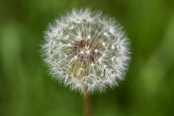 Love's Oracle…Dandelion in Season