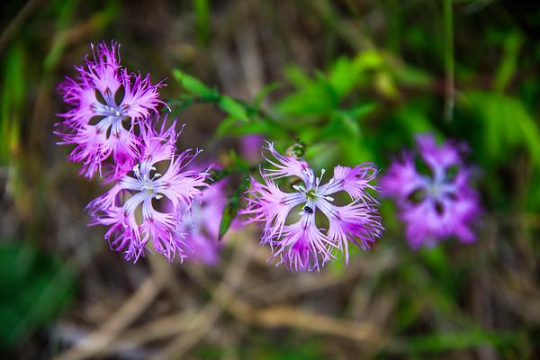 Nadeshiko (Dianthus superbus var. longicalycinus)