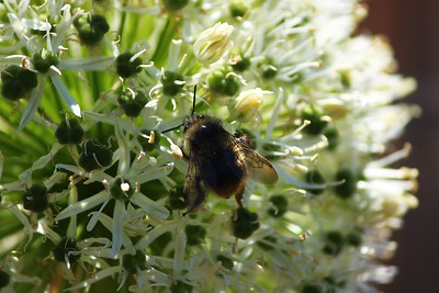 Bumblebee on Wild Chives