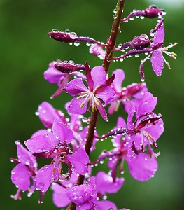 Fireweed flowers with clinging rain