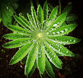 Lupine plant with rain drops