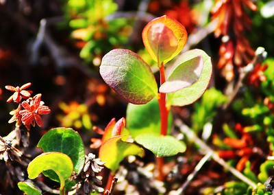 Wild tundra Blueberry plant