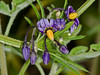 Bittersweet (Solanum dulcamara). Copyright Peter Drury 2010<br /> Woody Nightshade is the most common of the Nightshade family. It scrambles through hedges and shrubs, entwining the branches.<br /> The plant is also used for medicinal purposes.