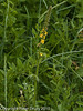 Common Angrimony (Agrimonia eupatoria). Copyright Peter Drury 2010