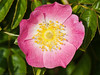 21 May 2011. Rosa rugosa at the Chalk Quarry, Paulsgrove. Copyright Peter Drury 2011