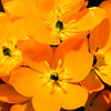 Orange Star (Ornithogalum dubium)