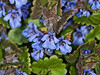 09 April 2011. Ground Ivy at the Oysterbeds.  Copyright Peter Drury 2011