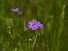 Hedgerow Crane's-bill (Geranium pyrenaicum)