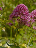 Red Valerian (Centranthus ruber coccineus)<br /> Pink variety