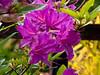 Azalia Blossom cluster