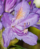09 May 2011. Rhodedendron blossom at Widley. Copyright Peter Drury 2011