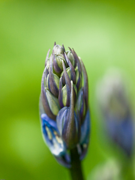 Bluebell buds