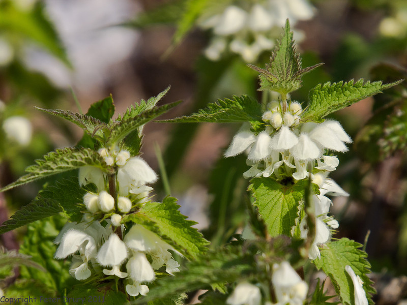18 April 2011. Common Nettle at the Oysterbeds.  Copyright Peter Drury 2011