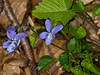 10 April 2011. Common Dog Violet at Queen Elizabeth Country Park.  Copyright Peter Drury 2011