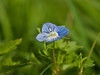 09 April 2011. Common Field Speedwell (Veronica persica) at the Oysterbeds.  Copyright Peter Drury 2011